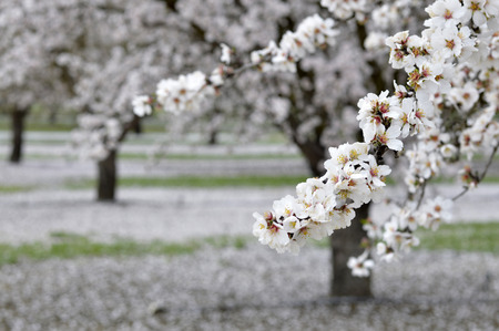 Almond blossoms beautiful trees with white flowers in spring on the field. Stok Fotoğraf - 37128288