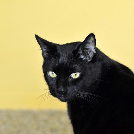 shiny black: Black Cat pet with yellow eyes beautiful graceful shiny. Stock Photo
