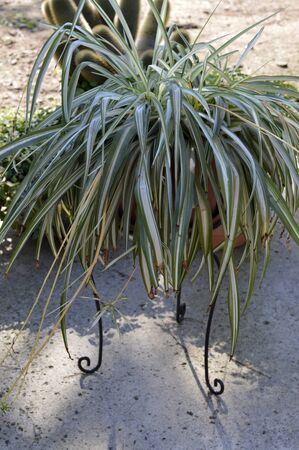 house plant: Spider plant beautiful large house plant in a pot.