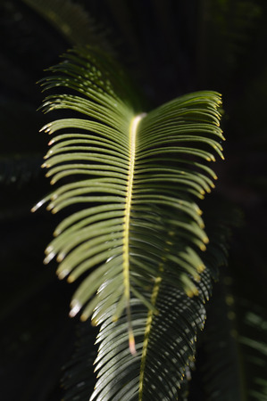 cycas: Beautiful green large branches sago palm in the garden.