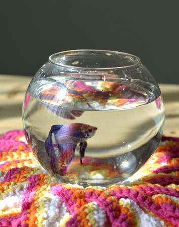 Aquarium with betta fish male and female build the nest. photo