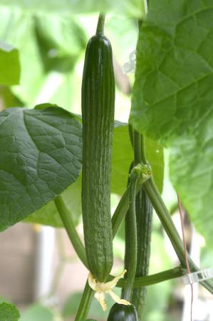 english cucumber: English cucumber in the greenhouse beautiful green plants.