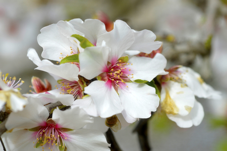 Almond blossom beautiful white fragrant in the spring garden. Stok Fotoğraf - 37728731