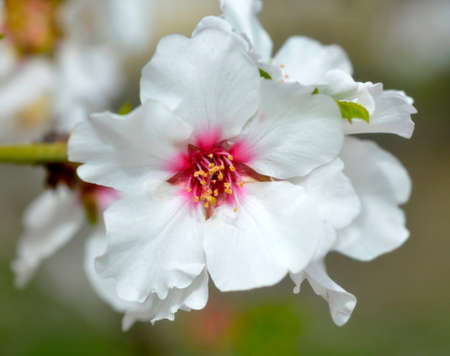 Almond blossom beautiful white fragrant in the spring garden. photo