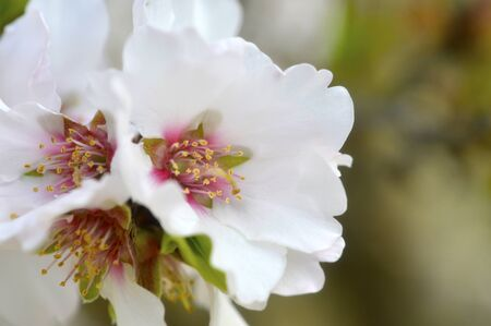 almond bud: Almond blossom beautiful white fragrant in the spring garden.