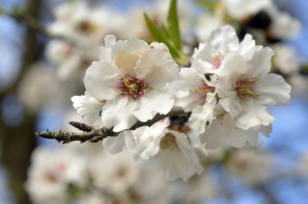Almond blossom beautiful white fragrant in the spring garden. Stok Fotoğraf - 37729759