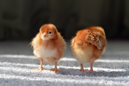 Easter chicken little fluffy newborn bird on the farm. Stock Photo