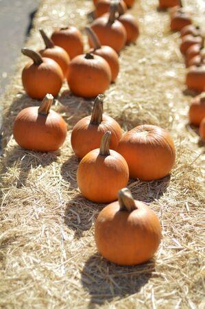 mini farm: Pumpkin nice round ripe fruit in autumn.