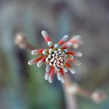 Aloe Vera flower Beautiful juicy medical plant. photo