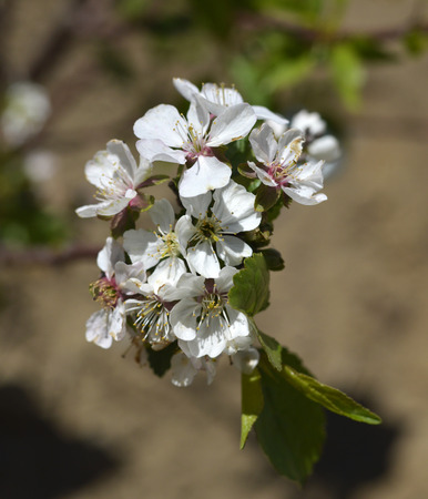sour cherry: Sour cherry tree with beautiful white flowers on a branch.