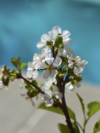 Sour cherry tree with beautiful white flowers on a branch.