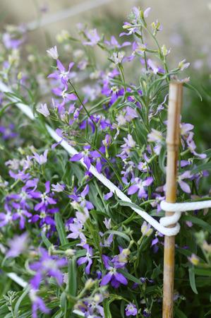 scented: Night Scented Stock, Matthiola longipetala fragrant flower Stock Photo