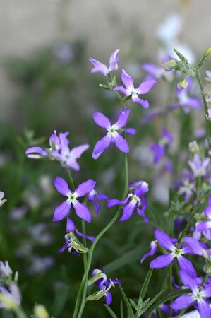 fragrant: Night Scented Stock, Matthiola longipetala fragrant flower Stock Photo