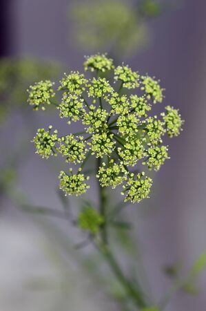 potherb: Flower green parsley plant spice seeds flowering. Stock Photo