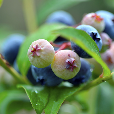 plant antioxidants: Blueberries on the bush fresh berries delicious healthy food.