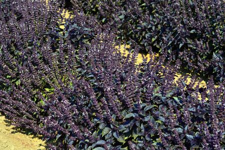 spice: Purple basil delicious spice plant on the farm.