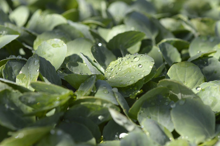 green vegetable: Broccoli seedlings plant green leaf vegetable in the field. Stock Photo