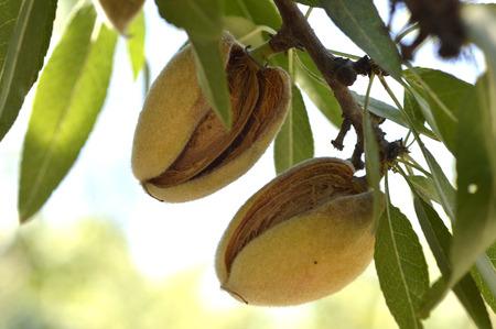 Almond tree beautiful tree with ripe fruits. Stok Fotoğraf - 44301744