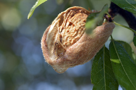 Almond tree beautiful tree with ripe fruits.