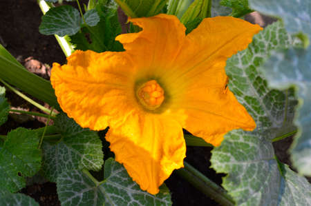 yellow blossom: Squash yellow  blossom close up in the garden Stock Photo