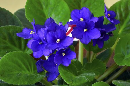 African violet in a pot with beautiful purple flowers