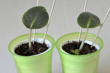 African violet seedling sprouts in a plastic cup Stok Fotoğraf