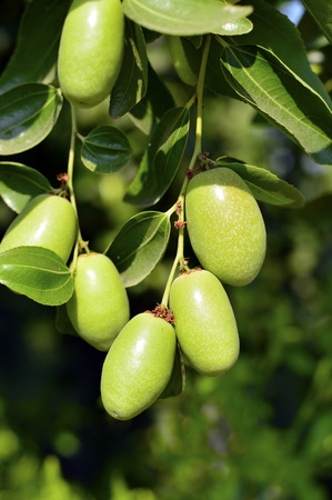 chinensis: Jojoba green plant with fruits on a farm