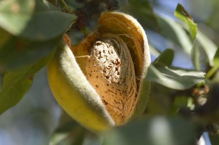 almond tree: Almond tree beautiful tree with ripe fruits.