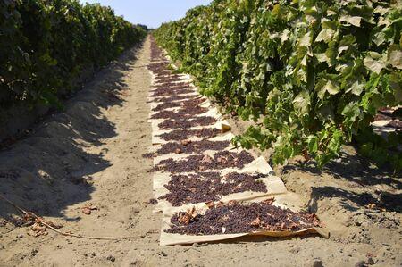 Raisins dried on the sun on a farm in California. Banco de Imagens