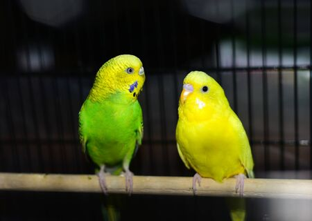 Parakeet sitting on a stick in the cage. Stock Photo
