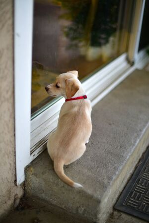 whining: A little puppy sitting at the door terrier mix