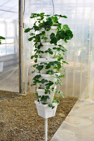 Strawberry plants tower greenhouse on the farm