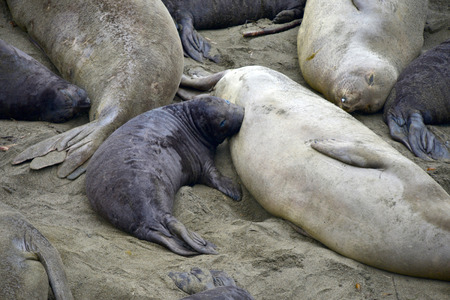 Bébé de bébé éléphanteau allaité USA Californie, océan Pacifique