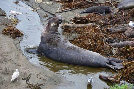 Sceau d'éléphant sauvage Océan Pacifique Sceau de fourrure de Californie