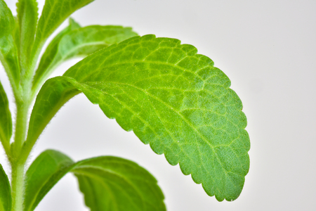 Stevia young plant with green leaves on a white background Stock Photo