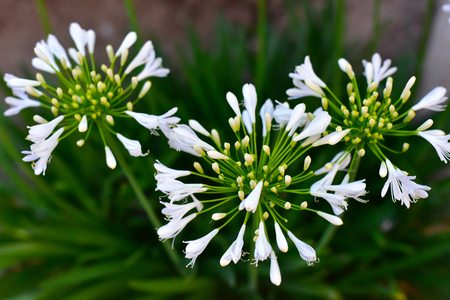 white nile: White lily of the nile blooming beautiful flowers