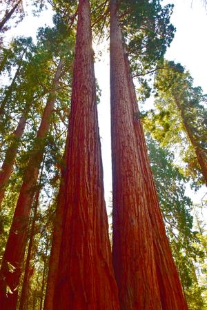 caoba: Gigantes enormes árboles de secoya en el Parque Nacional Sequoia, California, EE.UU.