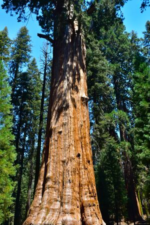 Giant Huge Sequoia Trees In Sequoia National Park, California USA