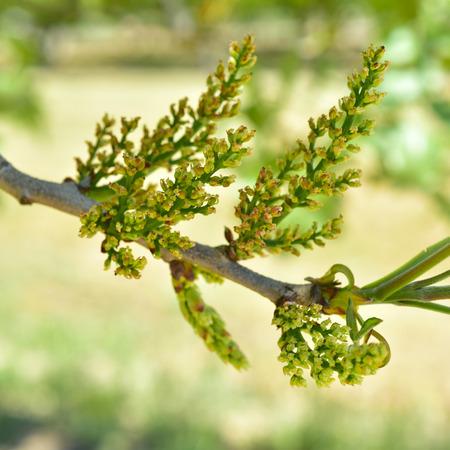 緑の葉のフィールドにピスタチオの木が咲く