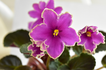 African violet plant variety Icy Sunset with white and pink fresh beautiful  flowers