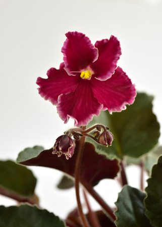 African violet plant variety Emergency with white and red fresh beautiful  flowers Stock fotó