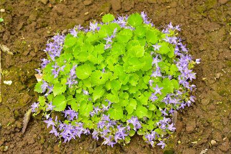 Campanula poscharskyana close up of violet bellflower blossoms
