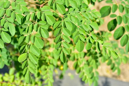 Moringa tree on the field with green leaves useful vitamins