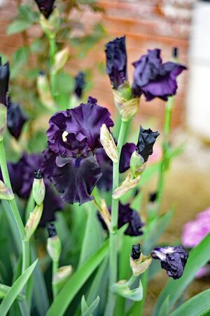 Black   iris in the garden green leaves