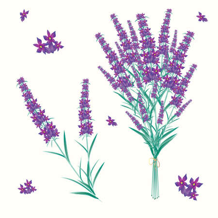 fragrant bouquet: Lavender Illustration