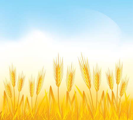 cosecha de trigo: Campo de trigo  Vectores