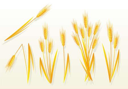 avena: Trigo dorado  Vectores