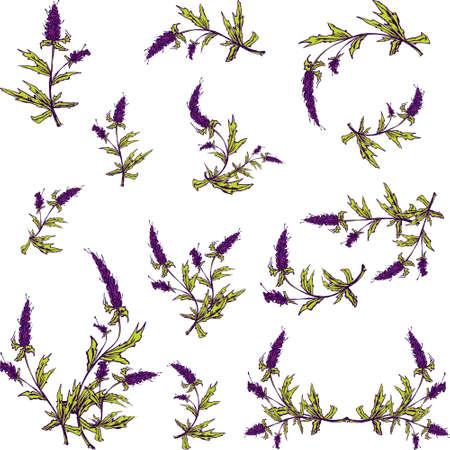 lavender bushes: Spring lavender vector illustrated graphic set for your design