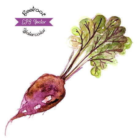 beet root: Organic beetroot, watercolor vector illustration Illustration