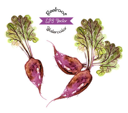 beetroot: Organic beetroot, watercolor vector illustration Illustration